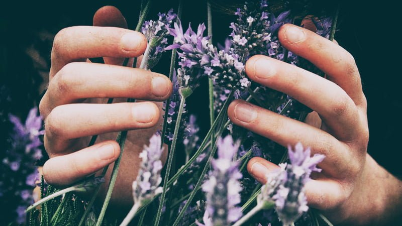 a person holding lavender flowers