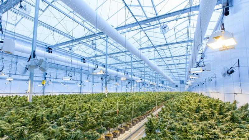 cannabis grow house