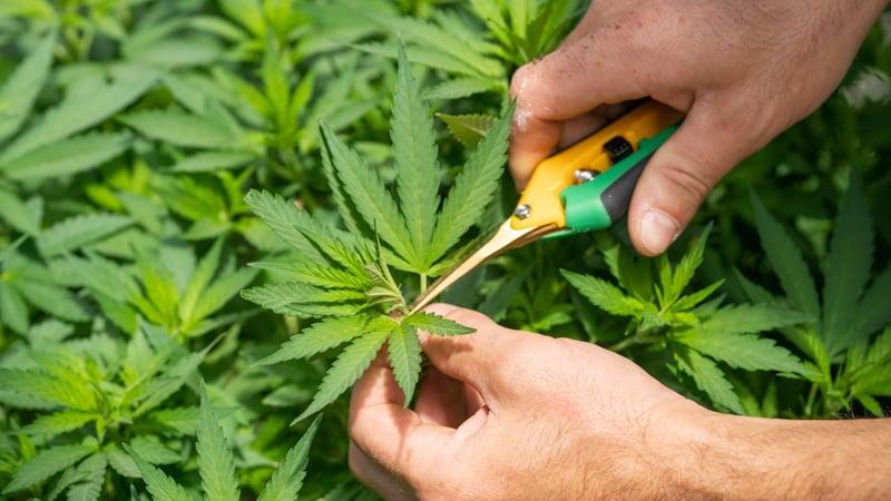 harvesting cannabis flowers