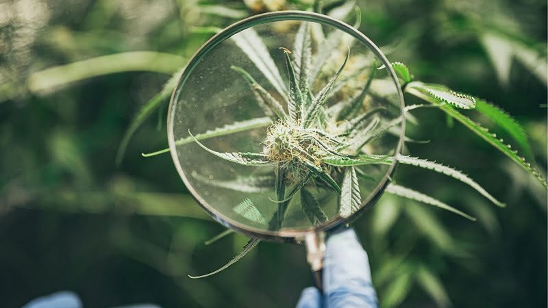scientist using a magnifying glass on a hemp leave