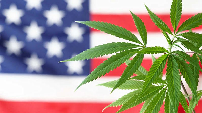 cannabis with United States flag background
