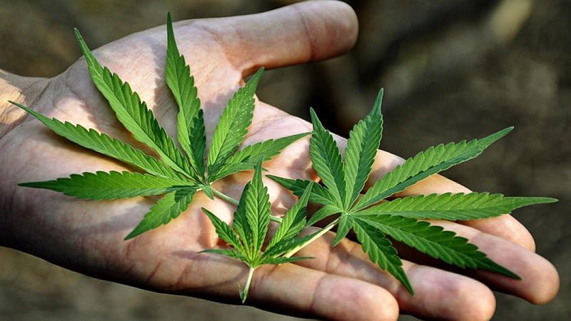 close-up image of a hand with hemp leaves