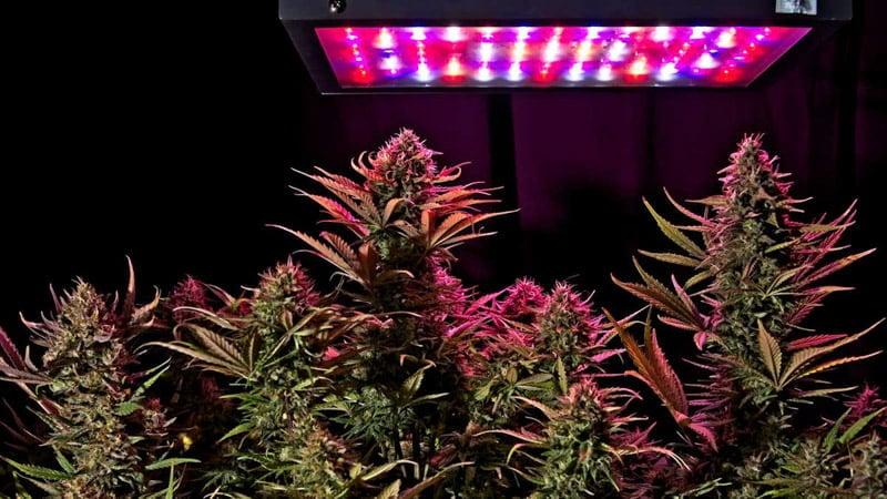 Hemp Plants Under the Pink Light