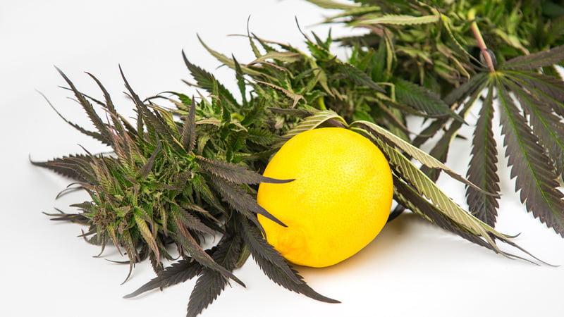 Hemp Plant with Lemon